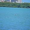 _5_brown pelican,_0223
