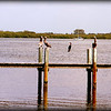 Brown Pelicans and Anhingas...Anna Maria Island Bridge,Holmes Beach,Fl...©2014  RobertLesterPhotography.com