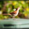 2017-04-21_P4210002_Brown Thrasher,Clwtr,fl