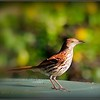 2017-04-21_P4210005_Brown Thrasher,Clwtr,fl