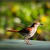 2017-04-21_P4210004_Brown Thrasher,Clwtr,fl