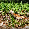 2017-05-07_P5070058_brown thrasher,Clwtr,Fl