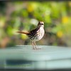 2017-04-21_P4210003_Brown Thrasher,Clwtr,fl