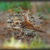 2017-04-12_P4120042_Brown Thrasher,Clwtr,fl