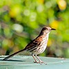 2017-04-21_P4210006_Brown Thrasher,Clwtr,fl
