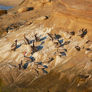 flock of brown pelicans off the cliffs in La Jolla Ca
