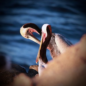 cleaning themselves brown pelicans