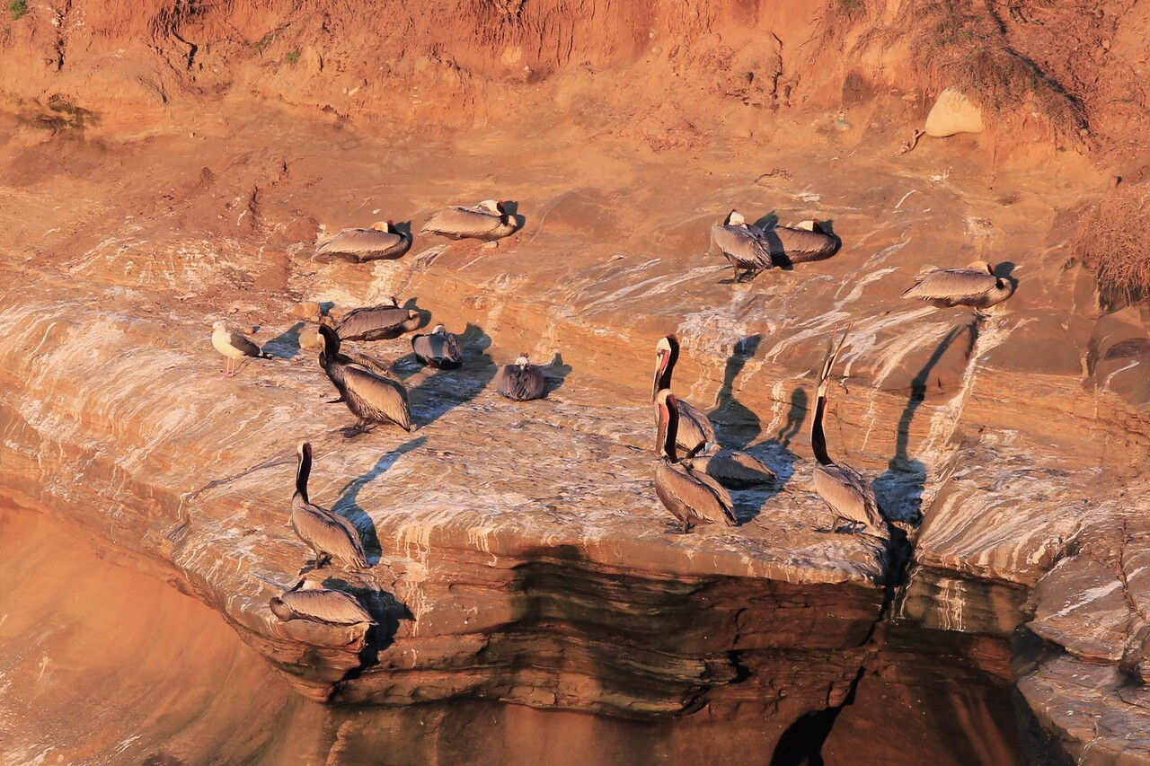 flock of brown pelicans