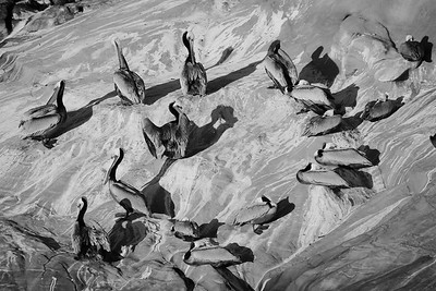 Black and white flock of brown pelican (Pelecanus occidentalis)
