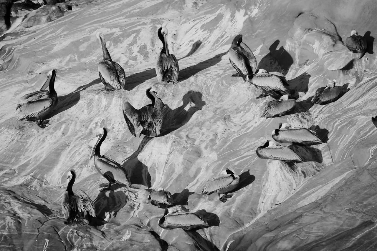 Black and white flock of brown pelican (Pelecanus occidentalis)
