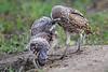 Burrowing owl feeding