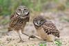 Burrowing owl and baby
