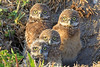 Burrowing owl babies