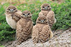 Dark eyed burrowing owl babies