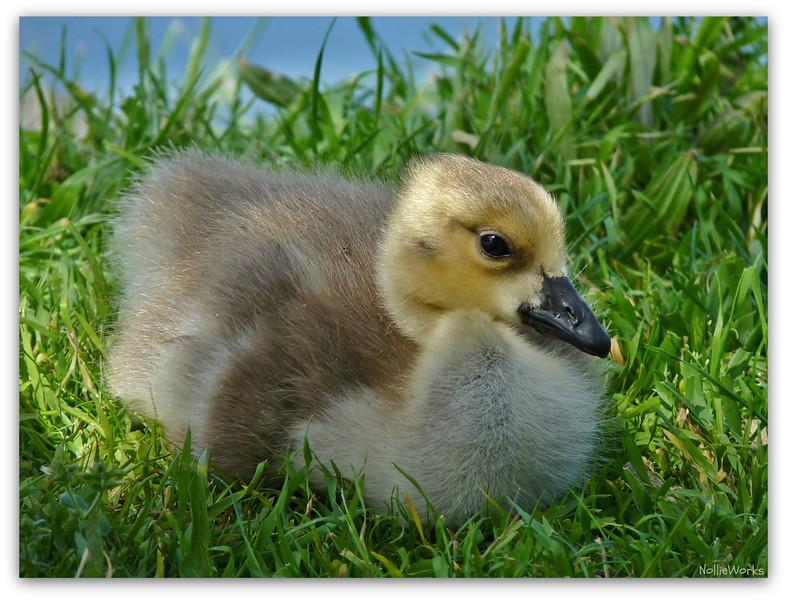 """Gossie 2"", the Canadian Goose gosling."