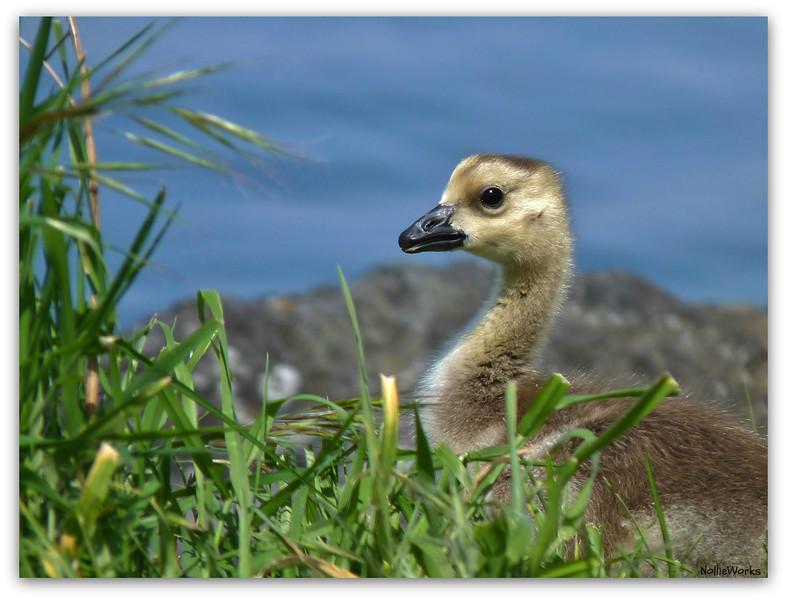 """Gossie 1"", the Canadian Goose gosling."