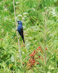 "Blue Grosbeak (m) - Blue Grosbeak 3325 - Clear view of ""grosbeak."" Not always easy to see beak difference from Indigo Bunting. Brown wing bar the easier tell."