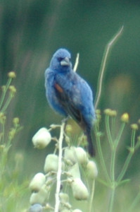 Blue Grosbeak 5757