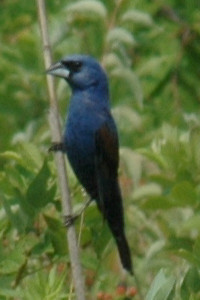 "Blue Grosbeak 3325 - Clear view of ""grosbeak."" Not always easy to see beak difference from Indigo Bunting. Brown wing bar the easier tell."