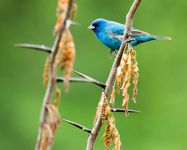 "Indigo Bunting (m) - ""Indigo in Thorns"""
