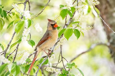 MDX5836 Better f Cardinal