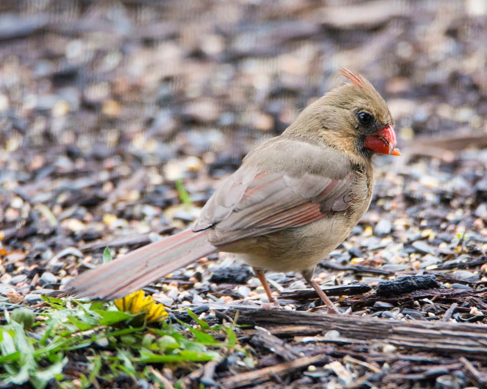 Crossbilled Cardinal X5913 3mb