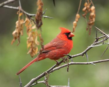 Cardinal (m) C5579
