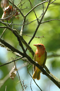 Summer Tanager (juv.)