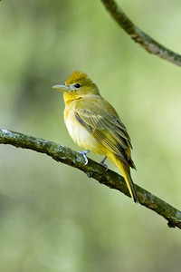 Summer Tanager (f) - D2594 - I know this is a female because it was flying with its mate.