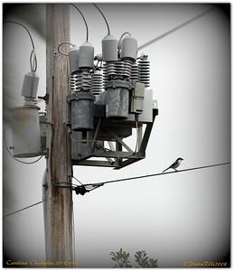 BIRDS     Carolina Chickadee  IMG_0528