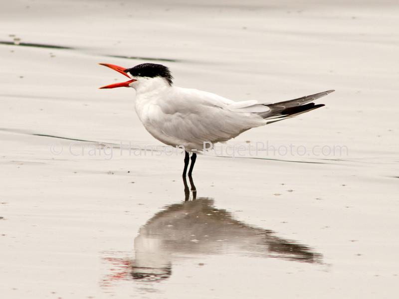 Caspian Tern (Sterna caspia)