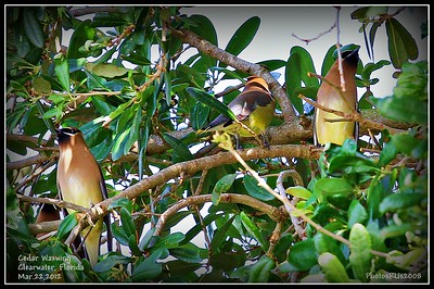 Cedar Waxwing....Clearwater, Fl.....Mar. 22,2012