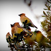 "Cedar Waxwing...©  <a href=""http://www.PhotosRUs2008.com...Bob"">http://www.PhotosRUs2008.com...Bob</a> Lester...All rights reserved"