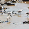 """Hey! Wait for me! A plover running to catch up with the group, seen in Southern California  <div class=""""ss-paypal-button""""><br><form target=""""paypal"""" action=""""https://www.paypal.com/cgi-bin/webscr"""" method=""""post"""" ><input type=""""hidden"""" name=""""cmd"""" value=""""_cart""""><input type=""""hidden"""" name=""""business"""" value=""""947PXEXBHP9H8""""><input type=""""hidden"""" name=""""lc"""" value=""""US""""><input type=""""hidden"""" name=""""item_name"""" value=""""Hey! Wait for me! A plover running to catch up with the group, seen in Southern California""""><input type=""""hidden"""" name=""""item_number"""" value=""""http:&#x2F;&#x2F;www.werthwildphotography.com&#x2F;Animals&#x2F;Birds&#x2F;Coastal-Birds&#x2F;i-2rwFVCK""""><input type=""""hidden"""" name=""""button_subtype"""" value=""""products""""><input type=""""hidden"""" name=""""no_note"""" value=""""0""""><input type=""""hidden"""" name=""""cn"""" value=""""Add special instructions to the seller:""""><input type=""""hidden"""" name=""""no_shipping"""" value=""""2""""><input type=""""hidden"""" name=""""currency_code"""" value=""""USD""""><input type=""""hidden"""" name=""""shipping"""" value=""""4.00""""><input type=""""hidden"""" name=""""add"""" value=""""1""""><input type=""""hidden"""" name=""""bn"""" value=""""PP-ShopCartBF:btn_cart_LG.gif:NonHosted""""><table class=""""printSize""""><tr><td><input type=""""hidden"""" name=""""on0"""" value=""""Print size"""">Print size</td></tr><tr><td><select name=""""os0""""> <option value=""""5 x 7"""">5 x 7 $14.00 USD</option> <option value=""""8 x 10"""">8 x 10 $20.00 USD</option> <option value=""""8 x 12"""">8 x 12 $20.00 USD</option> <option value=""""11 x 14"""">11 x 14 $28.00 USD</option> <option value=""""12 x 18"""">12 x 18 $35.00 USD</option> <option value=""""16 x 20"""">16 x 20 $50.00 USD</option></select> </td></tr></table><input type=""""hidden"""" name=""""currency_code"""" value=""""USD""""><input type=""""hidden"""" name=""""option_select0"""" value=""""5 x 7""""><input type=""""hidden"""" name=""""option_amount0"""" value=""""14.00""""><input type=""""hidden"""" name=""""option_select1"""" value=""""8 x 10""""><input type=""""hidden"""" name=""""option_amount1"""" value=""""20.00""""><input type=""""hidden"""" name=""""option_select2"""" value=""""8 x 12""""><input type=""""hidden"""" name=""""option_amount2"""" value=""""20.00""""><input type=""""hidden"""" name=""""option"""