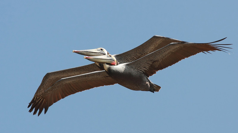 """Two brown pelicans flying in tight formation, seen off the Huntington Beach Pier in southern California.  <div class=""""ss-paypal-button""""><br><form target=""""paypal"""" action=""""https://www.paypal.com/cgi-bin/webscr"""" method=""""post"""" ><input type=""""hidden"""" name=""""cmd"""" value=""""_cart""""><input type=""""hidden"""" name=""""business"""" value=""""947PXEXBHP9H8""""><input type=""""hidden"""" name=""""lc"""" value=""""US""""><input type=""""hidden"""" name=""""item_name"""" value=""""Two brown pelicans flying in tight formation, seen off the Huntington Beach Pier in southern California.""""><input type=""""hidden"""" name=""""item_number"""" value=""""http:&#x2F;&#x2F;www.werthwildphotography.com&#x2F;Animals&#x2F;Birds&#x2F;Coastal-Birds&#x2F;i-3ZMk7qX""""><input type=""""hidden"""" name=""""button_subtype"""" value=""""products""""><input type=""""hidden"""" name=""""no_note"""" value=""""0""""><input type=""""hidden"""" name=""""cn"""" value=""""Add special instructions to the seller:""""><input type=""""hidden"""" name=""""no_shipping"""" value=""""2""""><input type=""""hidden"""" name=""""currency_code"""" value=""""USD""""><input type=""""hidden"""" name=""""shipping"""" value=""""4.00""""><input type=""""hidden"""" name=""""add"""" value=""""1""""><input type=""""hidden"""" name=""""bn"""" value=""""PP-ShopCartBF:btn_cart_LG.gif:NonHosted""""><table class=""""printSize""""><tr><td><input type=""""hidden"""" name=""""on0"""" value=""""Print size"""">Print size</td></tr><tr><td><select name=""""os0""""> <option value=""""5 x 7"""">5 x 7 $14.00 USD</option> <option value=""""8 x 10"""">8 x 10 $20.00 USD</option> <option value=""""8 x 12"""">8 x 12 $20.00 USD</option> <option value=""""11 x 14"""">11 x 14 $28.00 USD</option> <option value=""""12 x 18"""">12 x 18 $35.00 USD</option> <option value=""""16 x 20"""">16 x 20 $50.00 USD</option></select> </td></tr></table><input type=""""hidden"""" name=""""currency_code"""" value=""""USD""""><input type=""""hidden"""" name=""""option_select0"""" value=""""5 x 7""""><input type=""""hidden"""" name=""""option_amount0"""" value=""""14.00""""><input type=""""hidden"""" name=""""option_select1"""" value=""""8 x 10""""><input type=""""hidden"""" name=""""option_amount1"""" value=""""20.00""""><input type=""""hidden"""" name=""""option_select2"""" value=""""8 x 12""""><input type=""""hidden"""" name=""""option_amount2"""" value=""""20.00""""><inpu"""