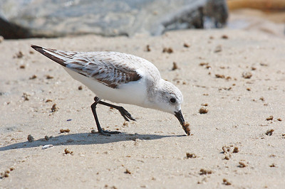 Plover digging for a meal  Print size 5 x 7 $14.00 USD 8 x 10 $20.00 USD 8 x 12 $20.00 USD 11 x 14 $28.00 USD 12 x 18 $35.00 USD 16 x 20 $50.00 USD