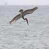 """A brown pelican seen diving off the Huntington Beach Pier in southern California.  <div class=""""ss-paypal-button""""><br><form target=""""paypal"""" action=""""https://www.paypal.com/cgi-bin/webscr"""" method=""""post"""" ><input type=""""hidden"""" name=""""cmd"""" value=""""_cart""""><input type=""""hidden"""" name=""""business"""" value=""""947PXEXBHP9H8""""><input type=""""hidden"""" name=""""lc"""" value=""""US""""><input type=""""hidden"""" name=""""item_name"""" value=""""A brown pelican seen diving off the Huntington Beach Pier in southern California.""""><input type=""""hidden"""" name=""""item_number"""" value=""""http:&#x2F;&#x2F;www.werthwildphotography.com&#x2F;Animals&#x2F;Birds&#x2F;Coastal-Birds&#x2F;i-BPfqZqm""""><input type=""""hidden"""" name=""""button_subtype"""" value=""""products""""><input type=""""hidden"""" name=""""no_note"""" value=""""0""""><input type=""""hidden"""" name=""""cn"""" value=""""Add special instructions to the seller:""""><input type=""""hidden"""" name=""""no_shipping"""" value=""""2""""><input type=""""hidden"""" name=""""currency_code"""" value=""""USD""""><input type=""""hidden"""" name=""""shipping"""" value=""""4.00""""><input type=""""hidden"""" name=""""add"""" value=""""1""""><input type=""""hidden"""" name=""""bn"""" value=""""PP-ShopCartBF:btn_cart_LG.gif:NonHosted""""><table class=""""printSize""""><tr><td><input type=""""hidden"""" name=""""on0"""" value=""""Print size"""">Print size</td></tr><tr><td><select name=""""os0""""> <option value=""""5 x 7"""">5 x 7 $14.00 USD</option> <option value=""""8 x 10"""">8 x 10 $20.00 USD</option> <option value=""""8 x 12"""">8 x 12 $20.00 USD</option> <option value=""""11 x 14"""">11 x 14 $28.00 USD</option> <option value=""""12 x 18"""">12 x 18 $35.00 USD</option> <option value=""""16 x 20"""">16 x 20 $50.00 USD</option></select> </td></tr></table><input type=""""hidden"""" name=""""currency_code"""" value=""""USD""""><input type=""""hidden"""" name=""""option_select0"""" value=""""5 x 7""""><input type=""""hidden"""" name=""""option_amount0"""" value=""""14.00""""><input type=""""hidden"""" name=""""option_select1"""" value=""""8 x 10""""><input type=""""hidden"""" name=""""option_amount1"""" value=""""20.00""""><input type=""""hidden"""" name=""""option_select2"""" value=""""8 x 12""""><input type=""""hidden"""" name=""""option_amount2"""" value=""""20.00""""><input type=""""hidden"""" name=""""option_select3"""" value=""""1"""