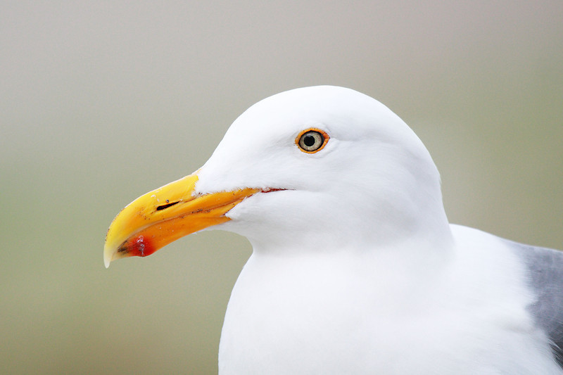 """This gull was just sitting passing the time, found in Seaside, Oregon  <div class=""""ss-paypal-button""""><br><form target=""""paypal"""" action=""""https://www.paypal.com/cgi-bin/webscr"""" method=""""post"""" ><input type=""""hidden"""" name=""""cmd"""" value=""""_cart""""><input type=""""hidden"""" name=""""business"""" value=""""947PXEXBHP9H8""""><input type=""""hidden"""" name=""""lc"""" value=""""US""""><input type=""""hidden"""" name=""""item_name"""" value=""""This gull was just sitting passing the time, found in Seaside, Oregon""""><input type=""""hidden"""" name=""""item_number"""" value=""""http:&#x2F;&#x2F;www.werthwildphotography.com&#x2F;Animals&#x2F;Birds&#x2F;Coastal-Birds&#x2F;i-C5cxzM2""""><input type=""""hidden"""" name=""""button_subtype"""" value=""""products""""><input type=""""hidden"""" name=""""no_note"""" value=""""0""""><input type=""""hidden"""" name=""""cn"""" value=""""Add special instructions to the seller:""""><input type=""""hidden"""" name=""""no_shipping"""" value=""""2""""><input type=""""hidden"""" name=""""currency_code"""" value=""""USD""""><input type=""""hidden"""" name=""""shipping"""" value=""""4.00""""><input type=""""hidden"""" name=""""add"""" value=""""1""""><input type=""""hidden"""" name=""""bn"""" value=""""PP-ShopCartBF:btn_cart_LG.gif:NonHosted""""><table class=""""printSize""""><tr><td><input type=""""hidden"""" name=""""on0"""" value=""""Print size"""">Print size</td></tr><tr><td><select name=""""os0""""> <option value=""""5 x 7"""">5 x 7 $14.00 USD</option> <option value=""""8 x 10"""">8 x 10 $20.00 USD</option> <option value=""""8 x 12"""">8 x 12 $20.00 USD</option> <option value=""""11 x 14"""">11 x 14 $28.00 USD</option> <option value=""""12 x 18"""">12 x 18 $35.00 USD</option> <option value=""""16 x 20"""">16 x 20 $50.00 USD</option></select> </td></tr></table><input type=""""hidden"""" name=""""currency_code"""" value=""""USD""""><input type=""""hidden"""" name=""""option_select0"""" value=""""5 x 7""""><input type=""""hidden"""" name=""""option_amount0"""" value=""""14.00""""><input type=""""hidden"""" name=""""option_select1"""" value=""""8 x 10""""><input type=""""hidden"""" name=""""option_amount1"""" value=""""20.00""""><input type=""""hidden"""" name=""""option_select2"""" value=""""8 x 12""""><input type=""""hidden"""" name=""""option_amount2"""" value=""""20.00""""><input type=""""hidden"""" name=""""option_select3"""" value=""""11 x 14""""><input type=""""hid"""