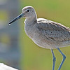 """A willet, found on the railing at the Bolsa Chica Nature Reserve in so. Cal.  <div class=""""ss-paypal-button""""><br><form target=""""paypal"""" action=""""https://www.paypal.com/cgi-bin/webscr"""" method=""""post"""" ><input type=""""hidden"""" name=""""cmd"""" value=""""_cart""""><input type=""""hidden"""" name=""""business"""" value=""""947PXEXBHP9H8""""><input type=""""hidden"""" name=""""lc"""" value=""""US""""><input type=""""hidden"""" name=""""item_name"""" value=""""A willet, found on the railing at the Bolsa Chica Nature Reserve in so. Cal.""""><input type=""""hidden"""" name=""""item_number"""" value=""""http:&#x2F;&#x2F;www.werthwildphotography.com&#x2F;Animals&#x2F;Birds&#x2F;Coastal-Birds&#x2F;i-Hh9TSbx""""><input type=""""hidden"""" name=""""button_subtype"""" value=""""products""""><input type=""""hidden"""" name=""""no_note"""" value=""""0""""><input type=""""hidden"""" name=""""cn"""" value=""""Add special instructions to the seller:""""><input type=""""hidden"""" name=""""no_shipping"""" value=""""2""""><input type=""""hidden"""" name=""""currency_code"""" value=""""USD""""><input type=""""hidden"""" name=""""shipping"""" value=""""4.00""""><input type=""""hidden"""" name=""""add"""" value=""""1""""><input type=""""hidden"""" name=""""bn"""" value=""""PP-ShopCartBF:btn_cart_LG.gif:NonHosted""""><table class=""""printSize""""><tr><td><input type=""""hidden"""" name=""""on0"""" value=""""Print size"""">Print size</td></tr><tr><td><select name=""""os0""""> <option value=""""5 x 7"""">5 x 7 $14.00 USD</option> <option value=""""8 x 10"""">8 x 10 $20.00 USD</option> <option value=""""8 x 12"""">8 x 12 $20.00 USD</option> <option value=""""11 x 14"""">11 x 14 $28.00 USD</option> <option value=""""12 x 18"""">12 x 18 $35.00 USD</option> <option value=""""16 x 20"""">16 x 20 $50.00 USD</option></select> </td></tr></table><input type=""""hidden"""" name=""""currency_code"""" value=""""USD""""><input type=""""hidden"""" name=""""option_select0"""" value=""""5 x 7""""><input type=""""hidden"""" name=""""option_amount0"""" value=""""14.00""""><input type=""""hidden"""" name=""""option_select1"""" value=""""8 x 10""""><input type=""""hidden"""" name=""""option_amount1"""" value=""""20.00""""><input type=""""hidden"""" name=""""option_select2"""" value=""""8 x 12""""><input type=""""hidden"""" name=""""option_amount2"""" value=""""20.00""""><input type=""""hidden"""" name=""""option_select3"""" value=""""11 x 14""""><i"""