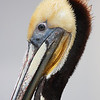 """This injured brown pelican flew up onto the railing of the Huntington Beach pier, it was looking for throw away fish from the fisherman. Poor things neck was really messed up.  <div class=""""ss-paypal-button""""><br><form target=""""paypal"""" action=""""https://www.paypal.com/cgi-bin/webscr"""" method=""""post"""" ><input type=""""hidden"""" name=""""cmd"""" value=""""_cart""""><input type=""""hidden"""" name=""""business"""" value=""""947PXEXBHP9H8""""><input type=""""hidden"""" name=""""lc"""" value=""""US""""><input type=""""hidden"""" name=""""item_name"""" value=""""This injured brown pelican flew up onto the railing of the Huntington Beach pier, it was looking for throw away fish from the fisherman. Poor things neck was really messed up.""""><input type=""""hidden"""" name=""""item_number"""" value=""""http:&#x2F;&#x2F;www.werthwildphotography.com&#x2F;Animals&#x2F;Birds&#x2F;Coastal-Birds&#x2F;i-VRWmP2f""""><input type=""""hidden"""" name=""""button_subtype"""" value=""""products""""><input type=""""hidden"""" name=""""no_note"""" value=""""0""""><input type=""""hidden"""" name=""""cn"""" value=""""Add special instructions to the seller:""""><input type=""""hidden"""" name=""""no_shipping"""" value=""""2""""><input type=""""hidden"""" name=""""currency_code"""" value=""""USD""""><input type=""""hidden"""" name=""""shipping"""" value=""""4.00""""><input type=""""hidden"""" name=""""add"""" value=""""1""""><input type=""""hidden"""" name=""""bn"""" value=""""PP-ShopCartBF:btn_cart_LG.gif:NonHosted""""><table class=""""printSize""""><tr><td><input type=""""hidden"""" name=""""on0"""" value=""""Print size"""">Print size</td></tr><tr><td><select name=""""os0""""> <option value=""""5 x 7"""">5 x 7 $14.00 USD</option> <option value=""""8 x 10"""">8 x 10 $20.00 USD</option> <option value=""""8 x 12"""">8 x 12 $20.00 USD</option> <option value=""""11 x 14"""">11 x 14 $28.00 USD</option> <option value=""""12 x 18"""">12 x 18 $35.00 USD</option> <option value=""""16 x 20"""">16 x 20 $50.00 USD</option></select> </td></tr></table><input type=""""hidden"""" name=""""currency_code"""" value=""""USD""""><input type=""""hidden"""" name=""""option_select0"""" value=""""5 x 7""""><input type=""""hidden"""" name=""""option_amount0"""" value=""""14.00""""><input type=""""hidden"""" name=""""option_select1"""" value=""""8 x 10""""><input type=""""hidden"""" name=""""option_a"""