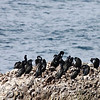 """A group of brandts cormorants on the Oregon coast.  <div class=""""ss-paypal-button""""><br><form target=""""paypal"""" action=""""https://www.paypal.com/cgi-bin/webscr"""" method=""""post"""" ><input type=""""hidden"""" name=""""cmd"""" value=""""_cart""""><input type=""""hidden"""" name=""""business"""" value=""""947PXEXBHP9H8""""><input type=""""hidden"""" name=""""lc"""" value=""""US""""><input type=""""hidden"""" name=""""item_name"""" value=""""A group of brandts cormorants on the Oregon coast.""""><input type=""""hidden"""" name=""""item_number"""" value=""""http:&#x2F;&#x2F;www.werthwildphotography.com&#x2F;Animals&#x2F;Birds&#x2F;Coastal-Birds&#x2F;i-Z4mh7bv""""><input type=""""hidden"""" name=""""button_subtype"""" value=""""products""""><input type=""""hidden"""" name=""""no_note"""" value=""""0""""><input type=""""hidden"""" name=""""cn"""" value=""""Add special instructions to the seller:""""><input type=""""hidden"""" name=""""no_shipping"""" value=""""2""""><input type=""""hidden"""" name=""""currency_code"""" value=""""USD""""><input type=""""hidden"""" name=""""shipping"""" value=""""4.00""""><input type=""""hidden"""" name=""""add"""" value=""""1""""><input type=""""hidden"""" name=""""bn"""" value=""""PP-ShopCartBF:btn_cart_LG.gif:NonHosted""""><table class=""""printSize""""><tr><td><input type=""""hidden"""" name=""""on0"""" value=""""Print size"""">Print size</td></tr><tr><td><select name=""""os0""""> <option value=""""5 x 7"""">5 x 7 $14.00 USD</option> <option value=""""8 x 10"""">8 x 10 $20.00 USD</option> <option value=""""8 x 12"""">8 x 12 $20.00 USD</option> <option value=""""11 x 14"""">11 x 14 $28.00 USD</option> <option value=""""12 x 18"""">12 x 18 $35.00 USD</option> <option value=""""16 x 20"""">16 x 20 $50.00 USD</option></select> </td></tr></table><input type=""""hidden"""" name=""""currency_code"""" value=""""USD""""><input type=""""hidden"""" name=""""option_select0"""" value=""""5 x 7""""><input type=""""hidden"""" name=""""option_amount0"""" value=""""14.00""""><input type=""""hidden"""" name=""""option_select1"""" value=""""8 x 10""""><input type=""""hidden"""" name=""""option_amount1"""" value=""""20.00""""><input type=""""hidden"""" name=""""option_select2"""" value=""""8 x 12""""><input type=""""hidden"""" name=""""option_amount2"""" value=""""20.00""""><input type=""""hidden"""" name=""""option_select3"""" value=""""11 x 14""""><input type=""""hidden"""" name=""""option_amount3"""" value=""""28.0"""