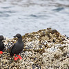 """Pigeon guillemots seen in Newport, Oregon  <div class=""""ss-paypal-button""""><br><form target=""""paypal"""" action=""""https://www.paypal.com/cgi-bin/webscr"""" method=""""post"""" ><input type=""""hidden"""" name=""""cmd"""" value=""""_cart""""><input type=""""hidden"""" name=""""business"""" value=""""947PXEXBHP9H8""""><input type=""""hidden"""" name=""""lc"""" value=""""US""""><input type=""""hidden"""" name=""""item_name"""" value=""""Pigeon guillemots seen in Newport, Oregon""""><input type=""""hidden"""" name=""""item_number"""" value=""""http:&#x2F;&#x2F;www.werthwildphotography.com&#x2F;Animals&#x2F;Birds&#x2F;Coastal-Birds&#x2F;i-jSsn9M3""""><input type=""""hidden"""" name=""""button_subtype"""" value=""""products""""><input type=""""hidden"""" name=""""no_note"""" value=""""0""""><input type=""""hidden"""" name=""""cn"""" value=""""Add special instructions to the seller:""""><input type=""""hidden"""" name=""""no_shipping"""" value=""""2""""><input type=""""hidden"""" name=""""currency_code"""" value=""""USD""""><input type=""""hidden"""" name=""""shipping"""" value=""""4.00""""><input type=""""hidden"""" name=""""add"""" value=""""1""""><input type=""""hidden"""" name=""""bn"""" value=""""PP-ShopCartBF:btn_cart_LG.gif:NonHosted""""><table class=""""printSize""""><tr><td><input type=""""hidden"""" name=""""on0"""" value=""""Print size"""">Print size</td></tr><tr><td><select name=""""os0""""> <option value=""""5 x 7"""">5 x 7 $14.00 USD</option> <option value=""""8 x 10"""">8 x 10 $20.00 USD</option> <option value=""""8 x 12"""">8 x 12 $20.00 USD</option> <option value=""""11 x 14"""">11 x 14 $28.00 USD</option> <option value=""""12 x 18"""">12 x 18 $35.00 USD</option> <option value=""""16 x 20"""">16 x 20 $50.00 USD</option></select> </td></tr></table><input type=""""hidden"""" name=""""currency_code"""" value=""""USD""""><input type=""""hidden"""" name=""""option_select0"""" value=""""5 x 7""""><input type=""""hidden"""" name=""""option_amount0"""" value=""""14.00""""><input type=""""hidden"""" name=""""option_select1"""" value=""""8 x 10""""><input type=""""hidden"""" name=""""option_amount1"""" value=""""20.00""""><input type=""""hidden"""" name=""""option_select2"""" value=""""8 x 12""""><input type=""""hidden"""" name=""""option_amount2"""" value=""""20.00""""><input type=""""hidden"""" name=""""option_select3"""" value=""""11 x 14""""><input type=""""hidden"""" name=""""option_amount3"""" value=""""28.00""""><input type=""""hi"""