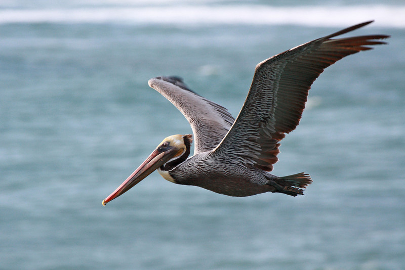 """A brown pelican seen off the Huntington Beach Pier in southern California.  <div class=""""ss-paypal-button""""><br><form target=""""paypal"""" action=""""https://www.paypal.com/cgi-bin/webscr"""" method=""""post"""" ><input type=""""hidden"""" name=""""cmd"""" value=""""_cart""""><input type=""""hidden"""" name=""""business"""" value=""""947PXEXBHP9H8""""><input type=""""hidden"""" name=""""lc"""" value=""""US""""><input type=""""hidden"""" name=""""item_name"""" value=""""A brown pelican seen off the Huntington Beach Pier in southern California.""""><input type=""""hidden"""" name=""""item_number"""" value=""""http:&#x2F;&#x2F;www.werthwildphotography.com&#x2F;Animals&#x2F;Birds&#x2F;Coastal-Birds&#x2F;i-qFRXNmv""""><input type=""""hidden"""" name=""""button_subtype"""" value=""""products""""><input type=""""hidden"""" name=""""no_note"""" value=""""0""""><input type=""""hidden"""" name=""""cn"""" value=""""Add special instructions to the seller:""""><input type=""""hidden"""" name=""""no_shipping"""" value=""""2""""><input type=""""hidden"""" name=""""currency_code"""" value=""""USD""""><input type=""""hidden"""" name=""""shipping"""" value=""""4.00""""><input type=""""hidden"""" name=""""add"""" value=""""1""""><input type=""""hidden"""" name=""""bn"""" value=""""PP-ShopCartBF:btn_cart_LG.gif:NonHosted""""><table class=""""printSize""""><tr><td><input type=""""hidden"""" name=""""on0"""" value=""""Print size"""">Print size</td></tr><tr><td><select name=""""os0""""> <option value=""""5 x 7"""">5 x 7 $14.00 USD</option> <option value=""""8 x 10"""">8 x 10 $20.00 USD</option> <option value=""""8 x 12"""">8 x 12 $20.00 USD</option> <option value=""""11 x 14"""">11 x 14 $28.00 USD</option> <option value=""""12 x 18"""">12 x 18 $35.00 USD</option> <option value=""""16 x 20"""">16 x 20 $50.00 USD</option></select> </td></tr></table><input type=""""hidden"""" name=""""currency_code"""" value=""""USD""""><input type=""""hidden"""" name=""""option_select0"""" value=""""5 x 7""""><input type=""""hidden"""" name=""""option_amount0"""" value=""""14.00""""><input type=""""hidden"""" name=""""option_select1"""" value=""""8 x 10""""><input type=""""hidden"""" name=""""option_amount1"""" value=""""20.00""""><input type=""""hidden"""" name=""""option_select2"""" value=""""8 x 12""""><input type=""""hidden"""" name=""""option_amount2"""" value=""""20.00""""><input type=""""hidden"""" name=""""option_select3"""" value=""""11 x 14""""><input"""