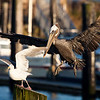 """A brown pelican kicking a seagull off a perch in the Chinook Port of Chinook, Washington.  <div class=""""ss-paypal-button""""><br><form target=""""paypal"""" action=""""https://www.paypal.com/cgi-bin/webscr"""" method=""""post"""" ><input type=""""hidden"""" name=""""cmd"""" value=""""_cart""""><input type=""""hidden"""" name=""""business"""" value=""""947PXEXBHP9H8""""><input type=""""hidden"""" name=""""lc"""" value=""""US""""><input type=""""hidden"""" name=""""item_name"""" value=""""A brown pelican kicking a seagull off a perch in the Chinook Port of Chinook, Washington.""""><input type=""""hidden"""" name=""""item_number"""" value=""""http:&#x2F;&#x2F;www.werthwildphotography.com&#x2F;Animals&#x2F;Birds&#x2F;Coastal-Birds&#x2F;i-sDkZ6Bz""""><input type=""""hidden"""" name=""""button_subtype"""" value=""""products""""><input type=""""hidden"""" name=""""no_note"""" value=""""0""""><input type=""""hidden"""" name=""""cn"""" value=""""Add special instructions to the seller:""""><input type=""""hidden"""" name=""""no_shipping"""" value=""""2""""><input type=""""hidden"""" name=""""currency_code"""" value=""""USD""""><input type=""""hidden"""" name=""""shipping"""" value=""""4.00""""><input type=""""hidden"""" name=""""add"""" value=""""1""""><input type=""""hidden"""" name=""""bn"""" value=""""PP-ShopCartBF:btn_cart_LG.gif:NonHosted""""><table class=""""printSize""""><tr><td><input type=""""hidden"""" name=""""on0"""" value=""""Print size"""">Print size</td></tr><tr><td><select name=""""os0""""> <option value=""""5 x 7"""">5 x 7 $14.00 USD</option> <option value=""""8 x 10"""">8 x 10 $20.00 USD</option> <option value=""""8 x 12"""">8 x 12 $20.00 USD</option> <option value=""""11 x 14"""">11 x 14 $28.00 USD</option> <option value=""""12 x 18"""">12 x 18 $35.00 USD</option> <option value=""""16 x 20"""">16 x 20 $50.00 USD</option></select> </td></tr></table><input type=""""hidden"""" name=""""currency_code"""" value=""""USD""""><input type=""""hidden"""" name=""""option_select0"""" value=""""5 x 7""""><input type=""""hidden"""" name=""""option_amount0"""" value=""""14.00""""><input type=""""hidden"""" name=""""option_select1"""" value=""""8 x 10""""><input type=""""hidden"""" name=""""option_amount1"""" value=""""20.00""""><input type=""""hidden"""" name=""""option_select2"""" value=""""8 x 12""""><input type=""""hidden"""" name=""""option_amount2"""" value=""""20.00""""><input type=""""hidden"""" name=""""option_s"""