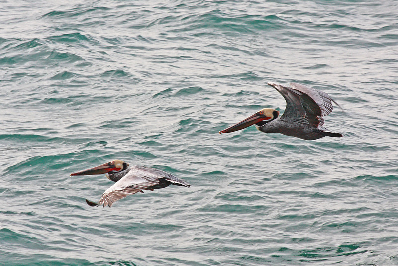"""Two brown pelicans flying in tight formation, seen off the Huntington Beach Pier in southern California.  <div class=""""ss-paypal-button""""><br><form target=""""paypal"""" action=""""https://www.paypal.com/cgi-bin/webscr"""" method=""""post"""" ><input type=""""hidden"""" name=""""cmd"""" value=""""_cart""""><input type=""""hidden"""" name=""""business"""" value=""""947PXEXBHP9H8""""><input type=""""hidden"""" name=""""lc"""" value=""""US""""><input type=""""hidden"""" name=""""item_name"""" value=""""Two brown pelicans flying in tight formation, seen off the Huntington Beach Pier in southern California.""""><input type=""""hidden"""" name=""""item_number"""" value=""""http:&#x2F;&#x2F;www.werthwildphotography.com&#x2F;Animals&#x2F;Birds&#x2F;Coastal-Birds&#x2F;i-xPs99HC""""><input type=""""hidden"""" name=""""button_subtype"""" value=""""products""""><input type=""""hidden"""" name=""""no_note"""" value=""""0""""><input type=""""hidden"""" name=""""cn"""" value=""""Add special instructions to the seller:""""><input type=""""hidden"""" name=""""no_shipping"""" value=""""2""""><input type=""""hidden"""" name=""""currency_code"""" value=""""USD""""><input type=""""hidden"""" name=""""shipping"""" value=""""4.00""""><input type=""""hidden"""" name=""""add"""" value=""""1""""><input type=""""hidden"""" name=""""bn"""" value=""""PP-ShopCartBF:btn_cart_LG.gif:NonHosted""""><table class=""""printSize""""><tr><td><input type=""""hidden"""" name=""""on0"""" value=""""Print size"""">Print size</td></tr><tr><td><select name=""""os0""""> <option value=""""5 x 7"""">5 x 7 $14.00 USD</option> <option value=""""8 x 10"""">8 x 10 $20.00 USD</option> <option value=""""8 x 12"""">8 x 12 $20.00 USD</option> <option value=""""11 x 14"""">11 x 14 $28.00 USD</option> <option value=""""12 x 18"""">12 x 18 $35.00 USD</option> <option value=""""16 x 20"""">16 x 20 $50.00 USD</option></select> </td></tr></table><input type=""""hidden"""" name=""""currency_code"""" value=""""USD""""><input type=""""hidden"""" name=""""option_select0"""" value=""""5 x 7""""><input type=""""hidden"""" name=""""option_amount0"""" value=""""14.00""""><input type=""""hidden"""" name=""""option_select1"""" value=""""8 x 10""""><input type=""""hidden"""" name=""""option_amount1"""" value=""""20.00""""><input type=""""hidden"""" name=""""option_select2"""" value=""""8 x 12""""><input type=""""hidden"""" name=""""option_amount2"""" value=""""20.00""""><inpu"""