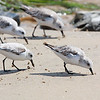 """Several plovers coming the beach for food  <div class=""""ss-paypal-button""""><br><form target=""""paypal"""" action=""""https://www.paypal.com/cgi-bin/webscr"""" method=""""post"""" ><input type=""""hidden"""" name=""""cmd"""" value=""""_cart""""><input type=""""hidden"""" name=""""business"""" value=""""947PXEXBHP9H8""""><input type=""""hidden"""" name=""""lc"""" value=""""US""""><input type=""""hidden"""" name=""""item_name"""" value=""""Several plovers coming the beach for food""""><input type=""""hidden"""" name=""""item_number"""" value=""""http:&#x2F;&#x2F;www.werthwildphotography.com&#x2F;Animals&#x2F;Birds&#x2F;Coastal-Birds&#x2F;i-xbBwK5P""""><input type=""""hidden"""" name=""""button_subtype"""" value=""""products""""><input type=""""hidden"""" name=""""no_note"""" value=""""0""""><input type=""""hidden"""" name=""""cn"""" value=""""Add special instructions to the seller:""""><input type=""""hidden"""" name=""""no_shipping"""" value=""""2""""><input type=""""hidden"""" name=""""currency_code"""" value=""""USD""""><input type=""""hidden"""" name=""""shipping"""" value=""""4.00""""><input type=""""hidden"""" name=""""add"""" value=""""1""""><input type=""""hidden"""" name=""""bn"""" value=""""PP-ShopCartBF:btn_cart_LG.gif:NonHosted""""><table class=""""printSize""""><tr><td><input type=""""hidden"""" name=""""on0"""" value=""""Print size"""">Print size</td></tr><tr><td><select name=""""os0""""> <option value=""""5 x 7"""">5 x 7 $14.00 USD</option> <option value=""""8 x 10"""">8 x 10 $20.00 USD</option> <option value=""""8 x 12"""">8 x 12 $20.00 USD</option> <option value=""""11 x 14"""">11 x 14 $28.00 USD</option> <option value=""""12 x 18"""">12 x 18 $35.00 USD</option> <option value=""""16 x 20"""">16 x 20 $50.00 USD</option></select> </td></tr></table><input type=""""hidden"""" name=""""currency_code"""" value=""""USD""""><input type=""""hidden"""" name=""""option_select0"""" value=""""5 x 7""""><input type=""""hidden"""" name=""""option_amount0"""" value=""""14.00""""><input type=""""hidden"""" name=""""option_select1"""" value=""""8 x 10""""><input type=""""hidden"""" name=""""option_amount1"""" value=""""20.00""""><input type=""""hidden"""" name=""""option_select2"""" value=""""8 x 12""""><input type=""""hidden"""" name=""""option_amount2"""" value=""""20.00""""><input type=""""hidden"""" name=""""option_select3"""" value=""""11 x 14""""><input type=""""hidden"""" name=""""option_amount3"""" value=""""28.00""""><input type=""""hi"""