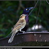 Red-winged Blackbird (female) and Common Grackle (male)...©PhotosRUs2008