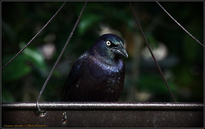 Common Grackle...©PhotosRUs2008