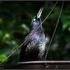 Common Grackle...©PhotosRUs2008