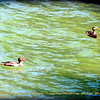 """Mottled Duck and Common Merganser     ©  <a href=""""http://www.PhotosRUs2008.com"""">http://www.PhotosRUs2008.com</a>   Bob Lester   All rights reserved."""